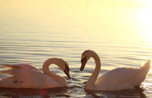 Swan Couple by Shine-Brightly
