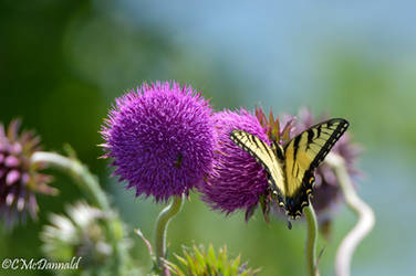 SwallowTail on a Thistle by drgnfly4free