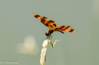 Halloween Pennant Dragonfly by drgnfly4free