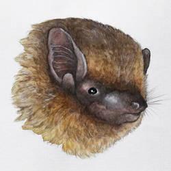 Pipistrellus pipistrellus by moussee