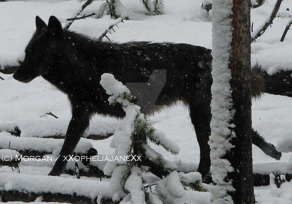 Black Wolf by xXopheliajaneXx