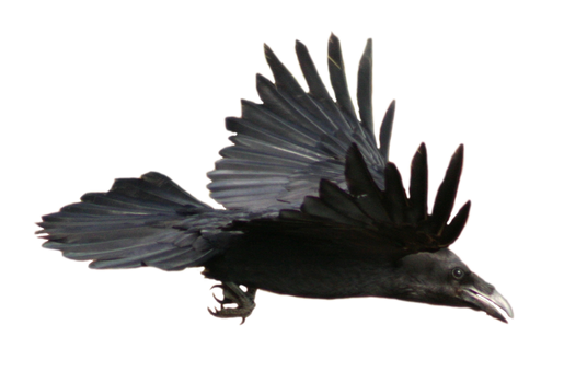 STOCK Raven Flying (with Alpha Layer) by netzephyr