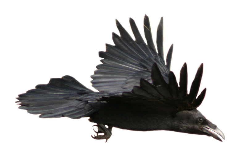STOCK Raven Flying (with Alpha Layer)