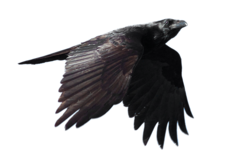 Raven Flying At Night