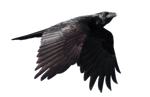 STOCK Common Raven Flying (with Alpha Layer)