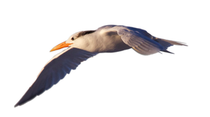 STOCK Royal Tern Flying (with Alpha Layer)