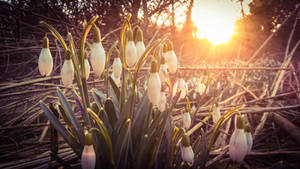 Snowdrops at Sunset