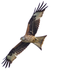 STOCK: Red Kite (Milvus Milvus) in flight - alpha