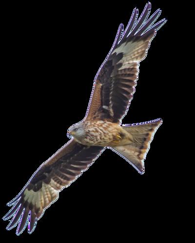 STOCK: Red Kite (Milvus Milvus) in flight - alpha by netzephyr