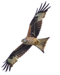 STOCK: Red Kite (Milvus Milvus) in flight - alpha