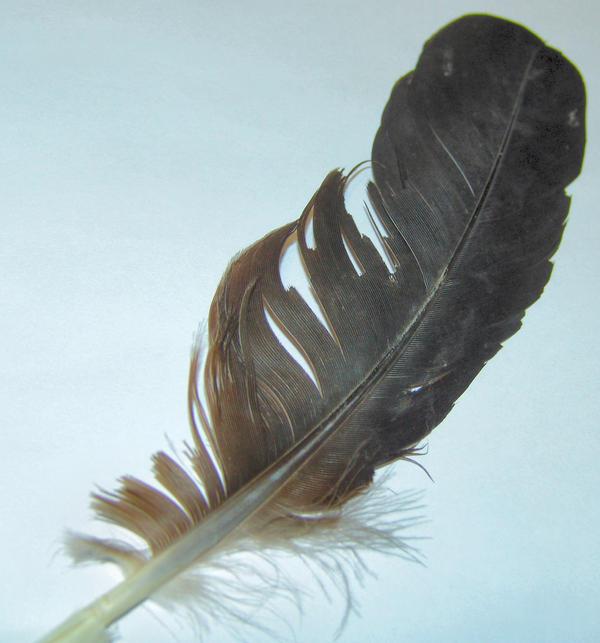feather6 by stockyard