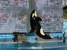 Killer Whale 2 by InToXiCaTeD--StOcK