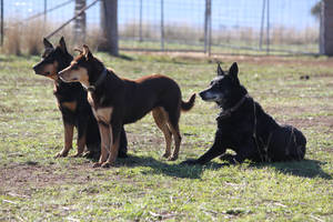 Dogs by InToXiCaTeD--StOcK