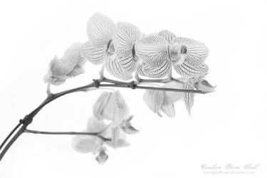 Orchids by pixellorac