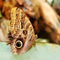 Owl Butterfly by Argolith