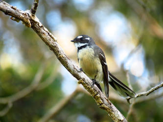 Gray Fantail by chaos133