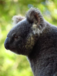 Koala by chaos133