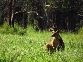 Kangaroos by chaos133