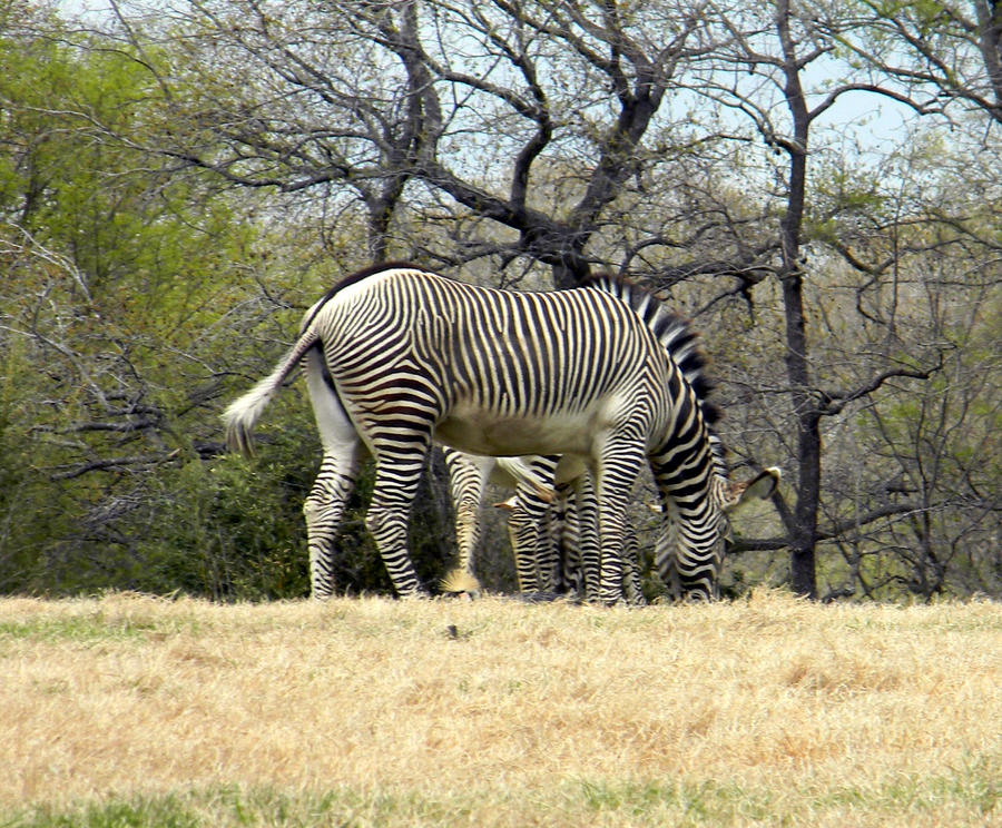 Zebra by AkwardRocketFairy