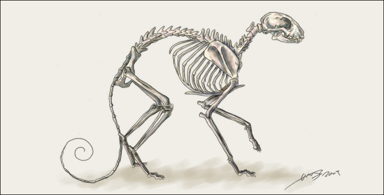 Cat Skeleton Drawing Cat Skeleton by Liquidonyx