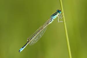 Blue Dragonfly by vlastas