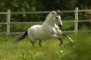 Lusitano Stallion by Blashina