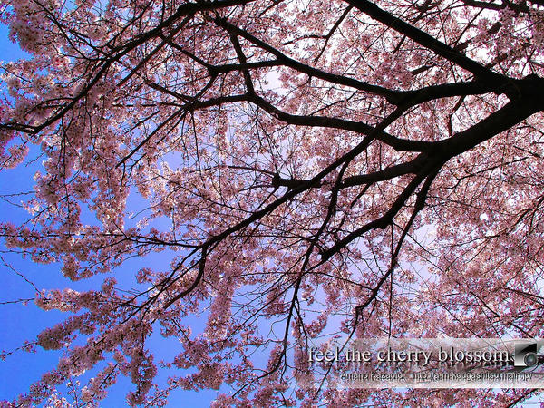 cherry blossom wallpaper. Cherry Blossom Wallpaper by