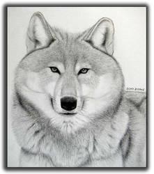Grey Wolf by httpecho