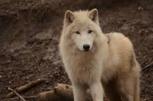 White Wolf 23 by Lakela