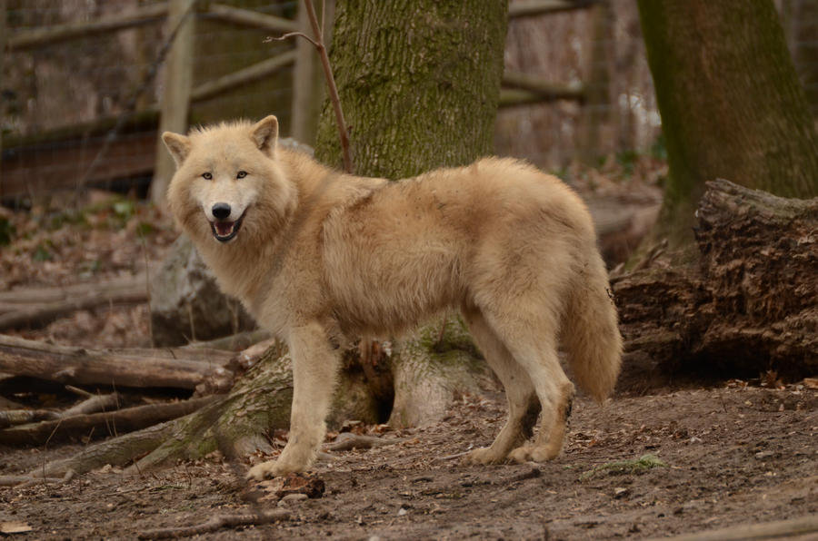 White Wolf 30 by LakelaLight Brown Female Wolf
