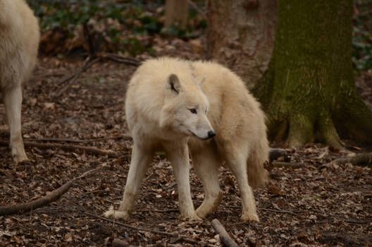 White Wolf 38