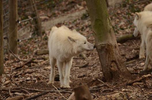 New White Wolves 1
