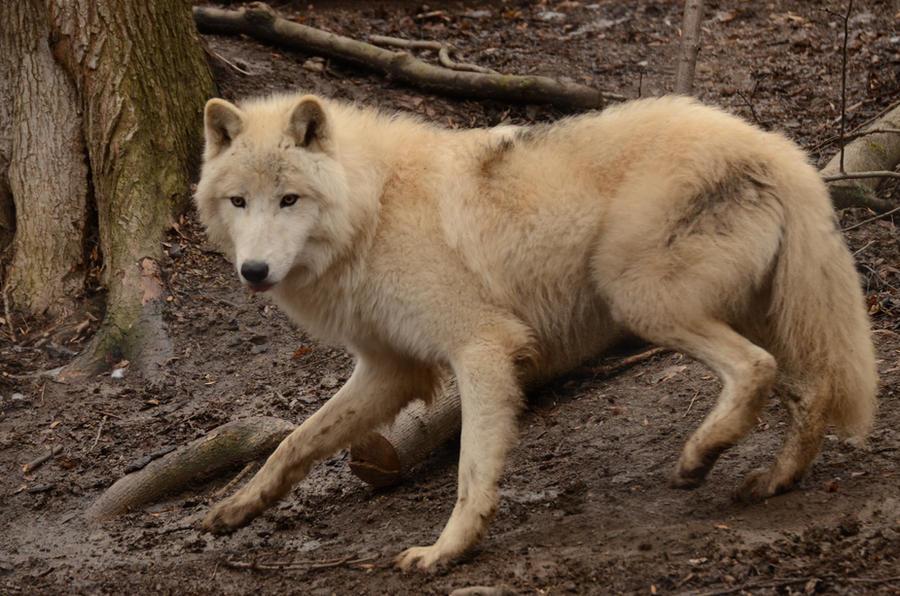 Exercice d'entré New_white_wolves_8_by_lakela-d4ul44t