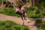 Hunting Dog 1