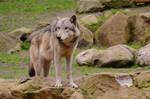 Timberwolf 2