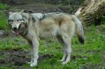 Timberwolf 6