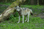 Timberwolf 10