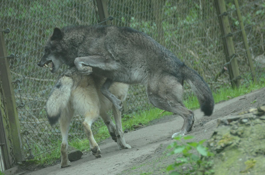 Timberwolf 14 by Lakela