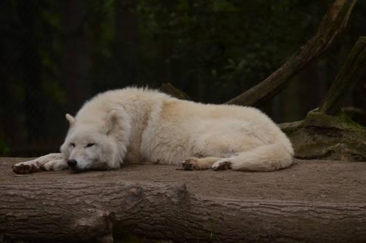 Arctic Wolf 4