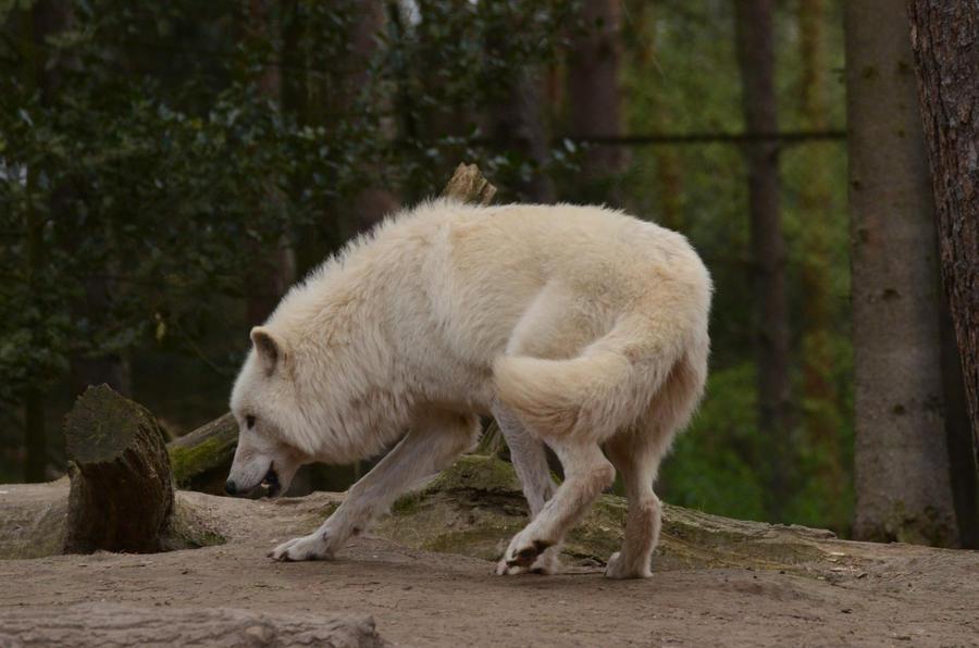 Arctic Wolf 5 by Lakela