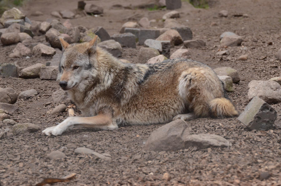Graywolf 7 by Lakela