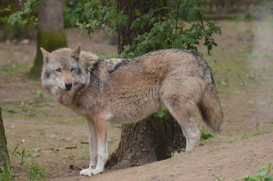 Graywolf 8 by Lakela