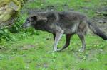 New Black Wolves 10