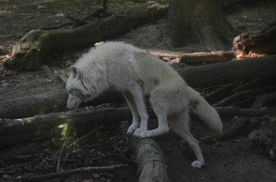 New White Wolves 3 by Lakela