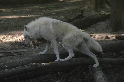 New White Wolves 5