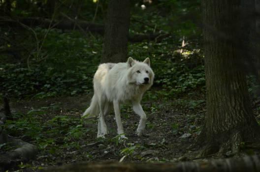 New White Wolves 6