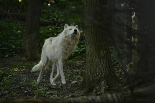 New White Wolves 7 by Lakela