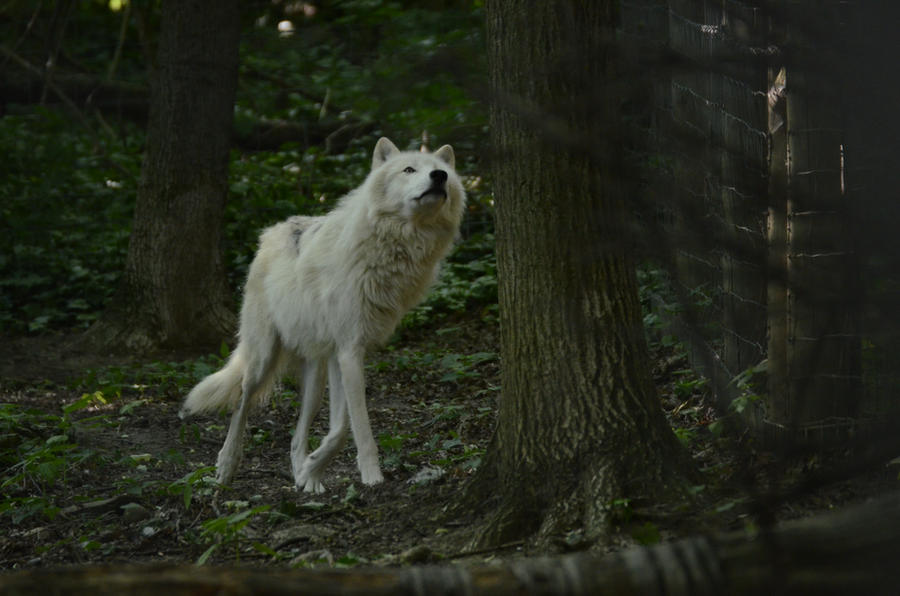 New White Wolves 7 by Lakela