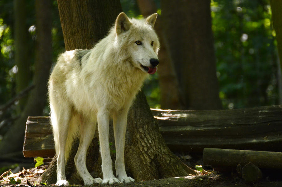 New White Wolves 10 by Lakela