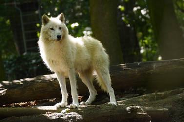 New White Wolves 11
